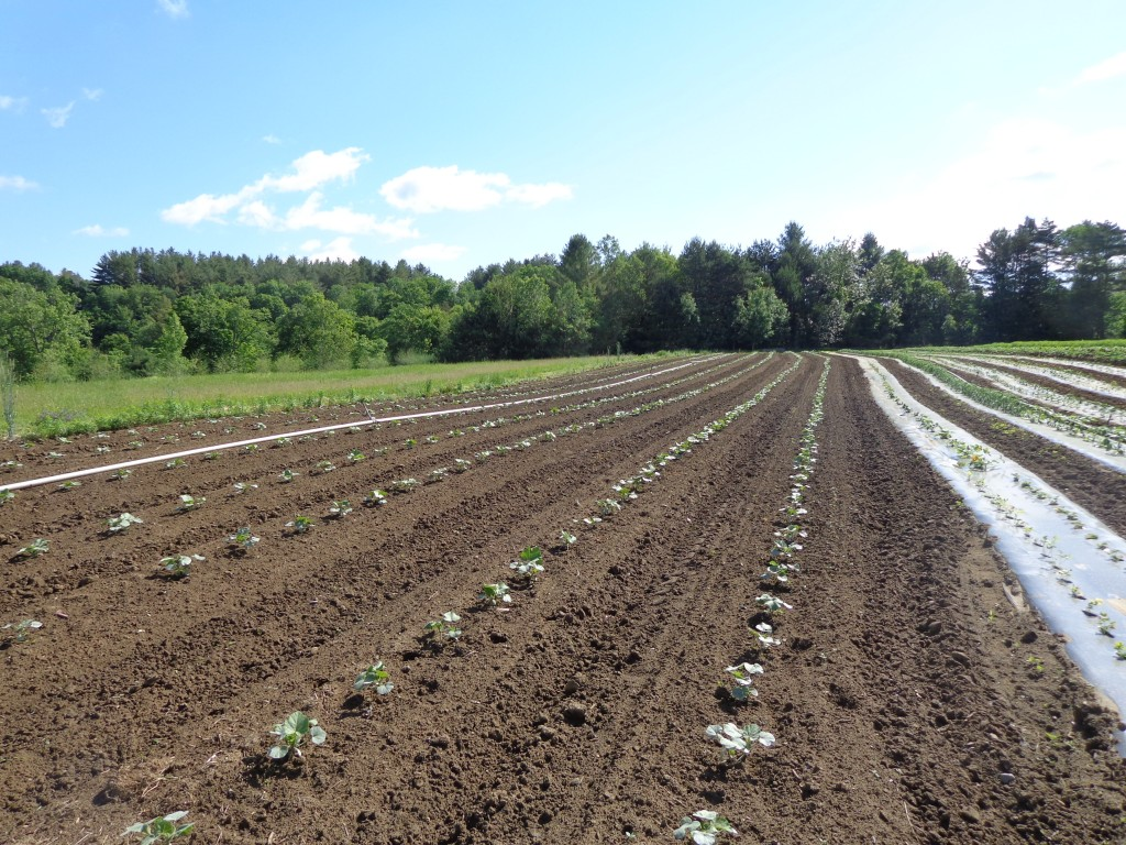 Well cultivated rows of winter squash