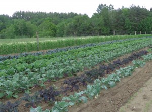 Kale, ready to pick